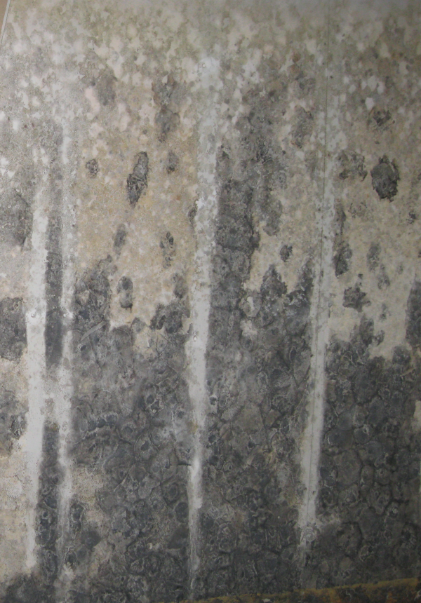 Mold Stacybotrys Chartarum