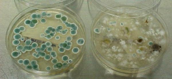penicillium mold