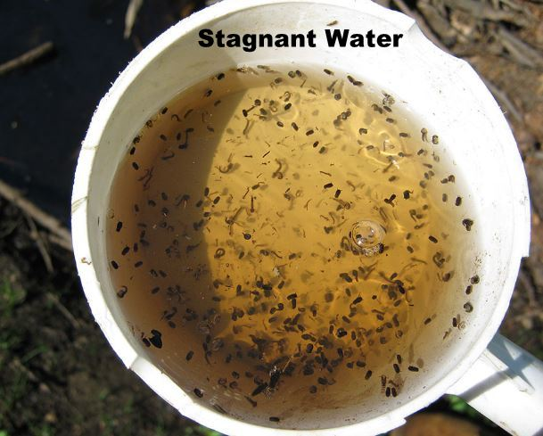 Stagnant Mosquito.jpg