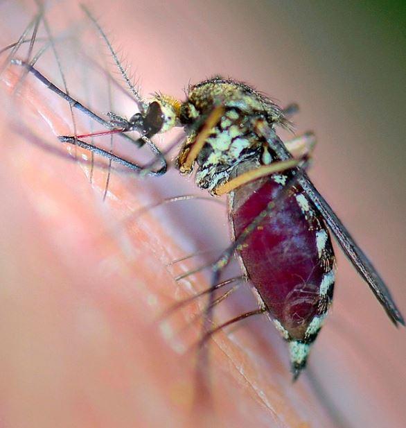 blood sucking mosquito.jpg