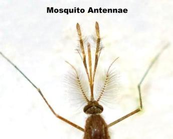 mosquito antennae2.jpg